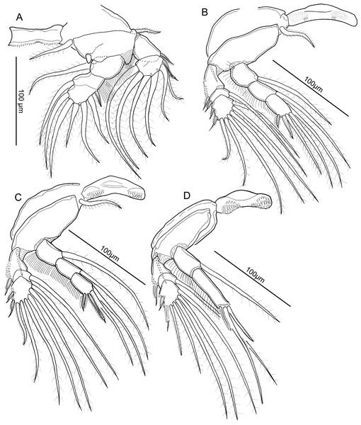 Line drawings of Unicolax longicrus n. sp. male.