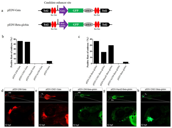 Capacity of the Gata and Beta-globin minimal promoters to respond to different enhancers.