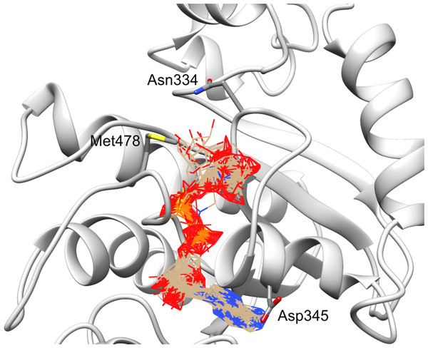 Ligand binding site in the structure model of C12ORF4 with hypothetical positions of predicted ligands–ADP-ribose molecules.