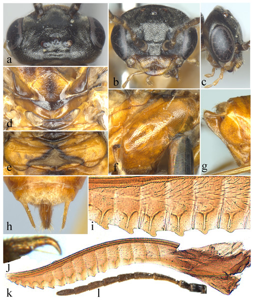 Analcellicampa xanthosoma.