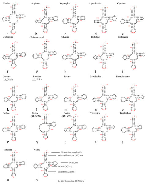 Predicted secondary structures of 22 tRNA genes of A. xanthosoma.