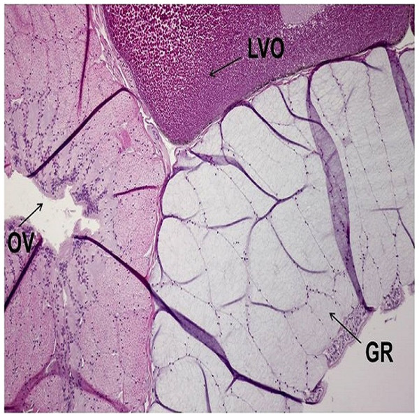 A representative of micrographic image of oviduct stained with Hematoxylin and eosin (HE), magnified at 10×.