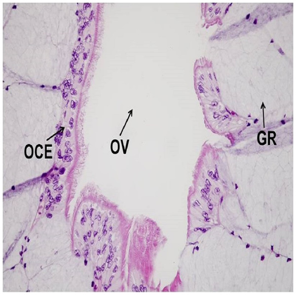 A representative of micrographic image of oviduct stained with Hematoxylin and eosin (HE), magnified at 40×.