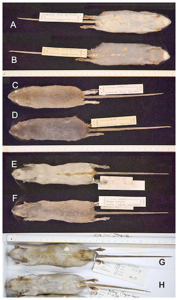 Insular Polynesian rats with different expressions of melanism (increased pigmentation).