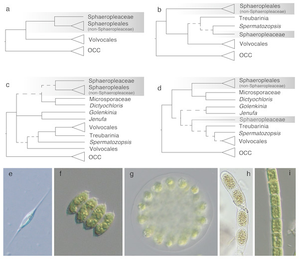 Phylogenetic hypotheses of ordinal classification within Chlorophyceae, based on previous and current analyses of ribosomal DNA.