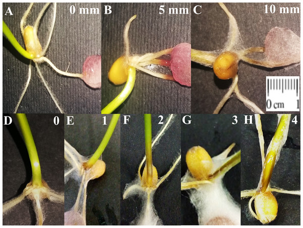 Example of root rot (RR) and foot rot (FR) symptoms on wheat seedlings.
