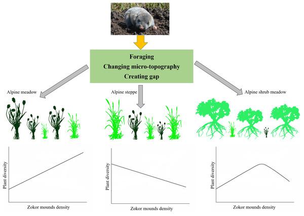 Summary diagram of zokor affect plant diversity in three alpine rangelands.