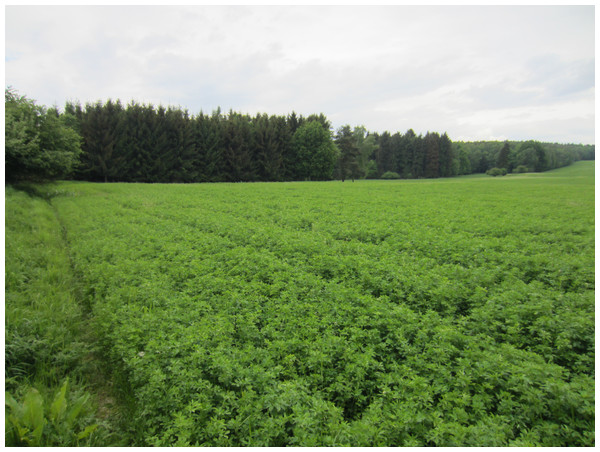 Typical alfalfa field used for the search of hidden roe deer fawns (study area Lány, 26th May 2016).