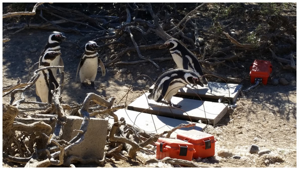 Magellanic penguins crossing obstacles (scales) in their path.