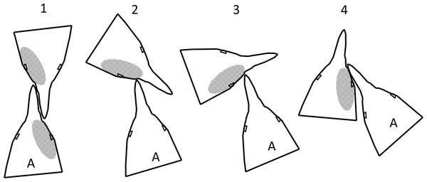 Fight orientations in Magellanic penguins.
