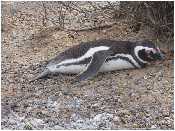 A Magellanic penguin using its extended right foot for thermoregulation on a hot day.