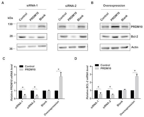 Bcl-2 expression in PRDM10-depleted and PRDM10-overexpressed cells.