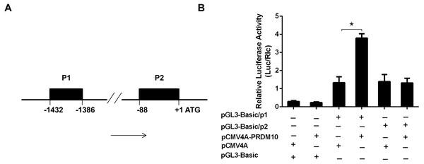 PRDM10 on Bcl-2 gene promoter activity.