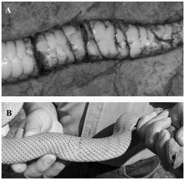 Photographs of fresh wounds (A) and scars of past wounds (B) on male mole snakes, sustained during male-male combat.