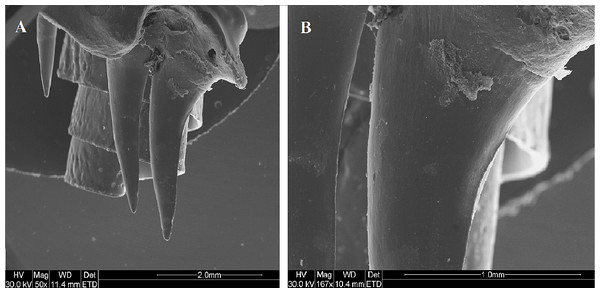 SEM (Scanning-Electron Microscopy) images of the posterior maxillary teeth (T12, T13) of a male mole snake (A) highlighting the blade-like carina along the posterior edge of T13 (B).