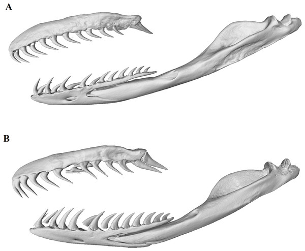Micro-CT (computed tomography) reconstructions comparing the lateral view of the left maxilla, dentary and compound bones of a female (A) with that of a male (B) mole snake.