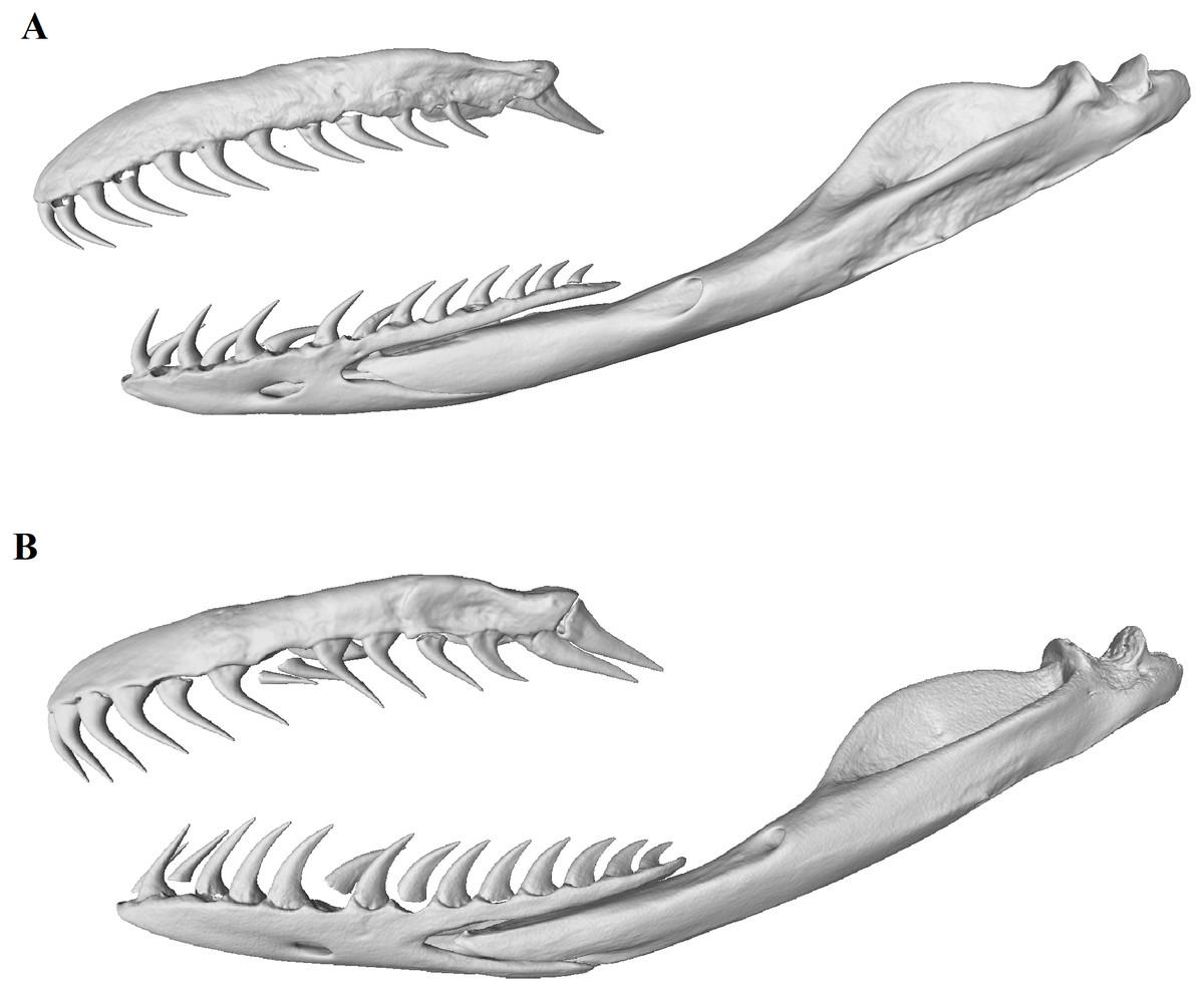 The cutting-edge morphology of the mole snake's dental apparatus [PeerJ]