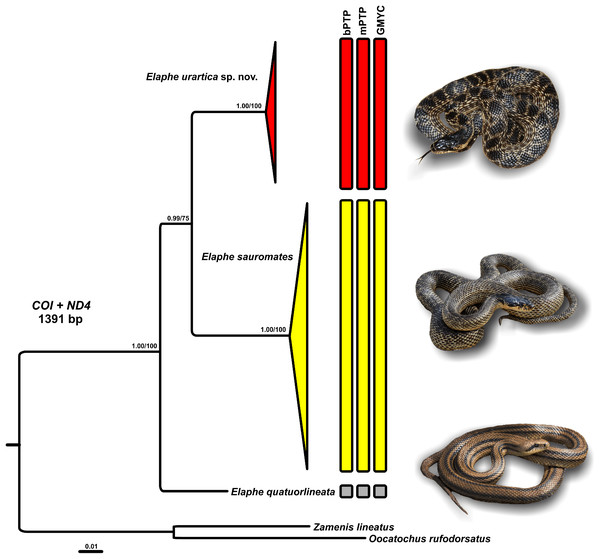 Phylogenetic relationships of Elaphe quatuorlineata (photo by Daniel Jablonski), E. sauromates (photo by Mark Pestov), and E. urartica sp. nov. (photo by Ilya Korshunov) reconstructed using Bayesian inference of concatenated COI and ND4 sequences.