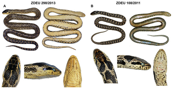 Coloration and pattern of adult (A) and subadult (B) males of Elaphe sauromates from south-western Turkey (photos by Aziz Avcı).