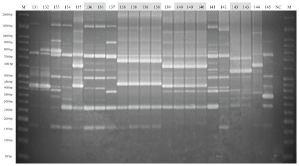ERIC-PCR gel image of G. parasuis isolates belonging to strains 131 to 145.