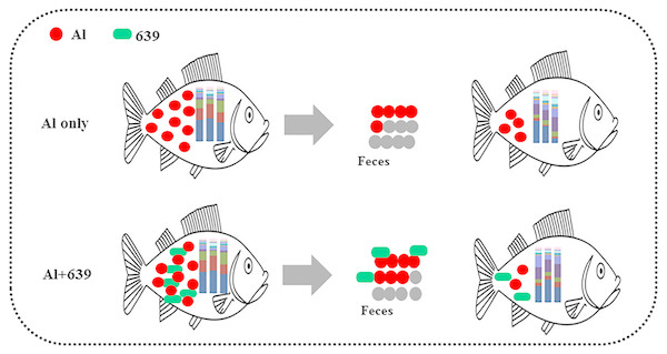 Potential protective mechanism of CCFM639 against aluminum induced gut injuries in Nile tilapia.