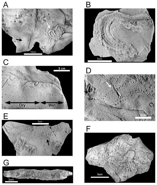 Hartselle Sandstone trace fossils.