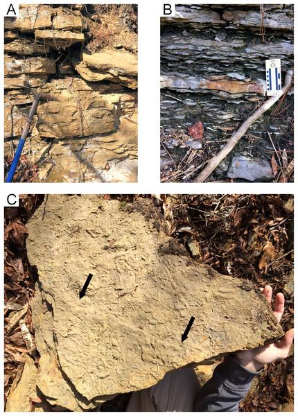 Hartselle Sandstone tidal flat deposits, Fielder Ridge, Colbert County, Alabama.