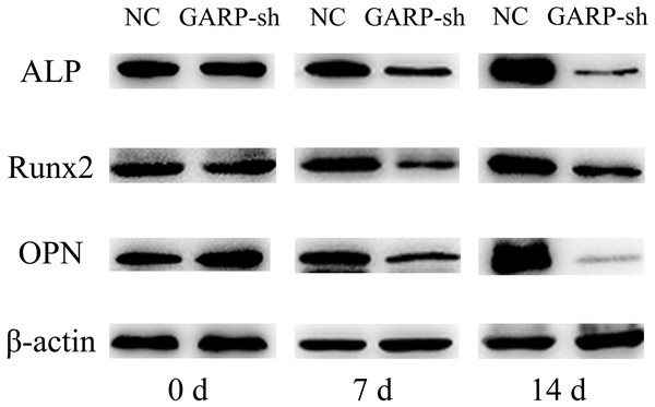 Western blot analysis of osteogenic related factors' protein expression.