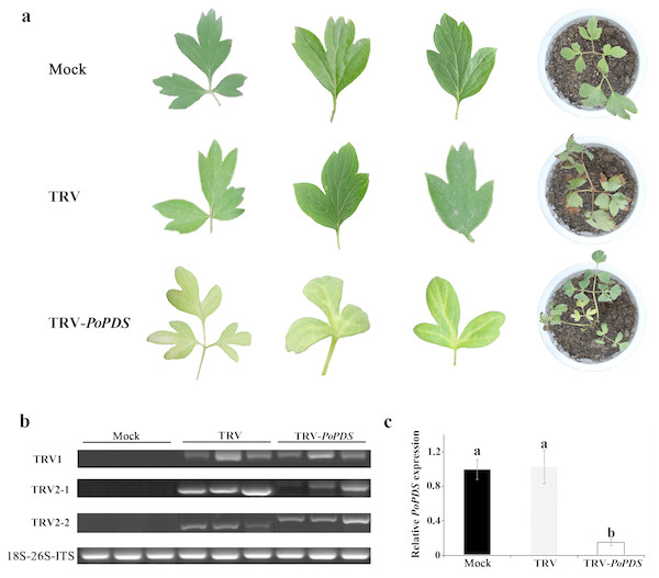 Silencing of PoPDS in P. ostii leaves infected with TRV-PoPDS.