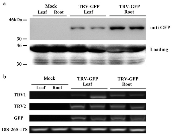 Detection of GFP protein accumulation in TRV-GFP-inoculated P. ostii leaves and roots.
