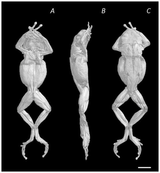 Reconstructed DICE µCT scan images of Phlyctimantis maculatus.