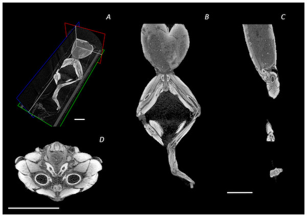Reconstructed DICE µCT scan images showing internal structure of the distal spine, pelvis, and hindlimb of Phlyctimantis maculatus.