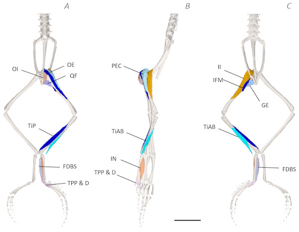 Deep digital dissection of the distal spine, pelvis, and hindlimb of Phlyctimantis maculatus.