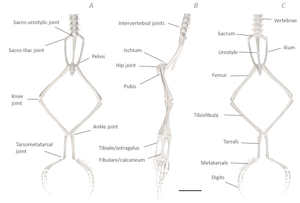 Skeletal digital dissection of the distal spine, pelvis, and hindlimb of Phlyctimantis maculatus.