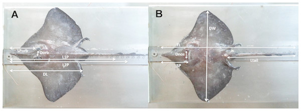 The morphometric measurements recorded for D. nidarosiensis specimens.
