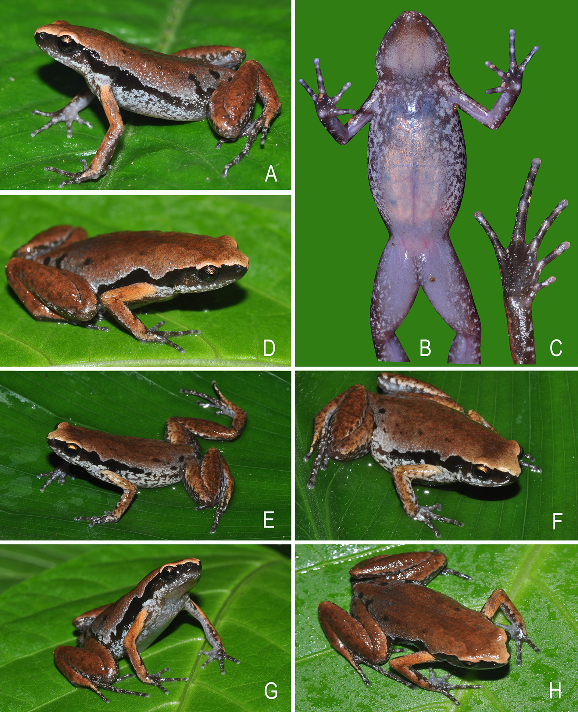 A Monograph of the Frogs of the Family Microhylidae