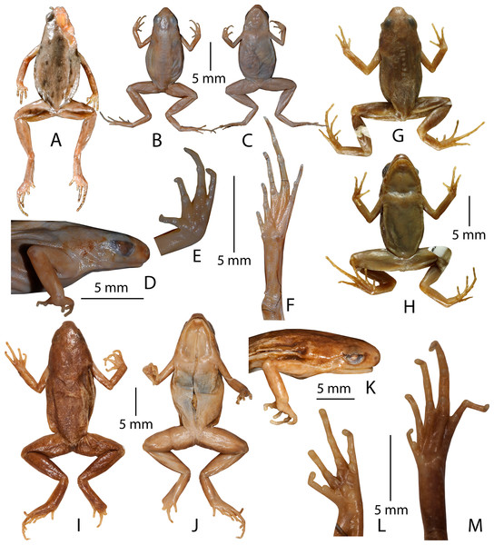 Type specimens of Micryletta species in preservation.