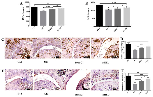 MSCs reduced inflammatory cytokine expression in serum and hind limb ankle joins.