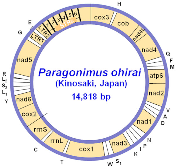 A circular map of the mitochondrial genome of the lung fluke Paragonimus ohirai (KX765277).