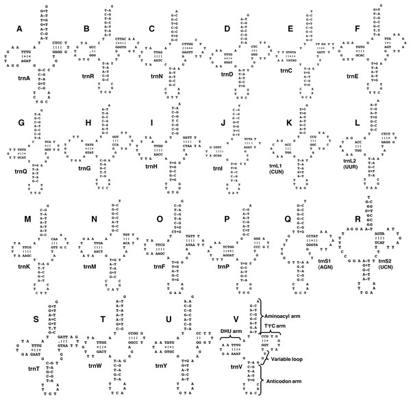 Drawings of predicted structure models of 22 transfer RNAs in the mitochondrial genome of Paragonimus ohirai, arranged in alphabetical order of the amino acids they specify.