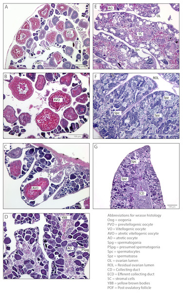 Histological stages of gonadal sex change in the bluehead wrasse.