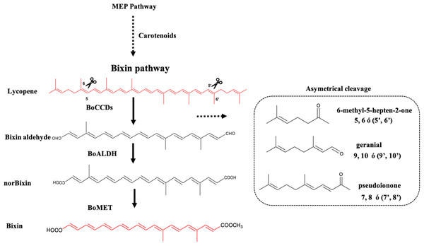 Bixin biosynthesis in B. orellana L.