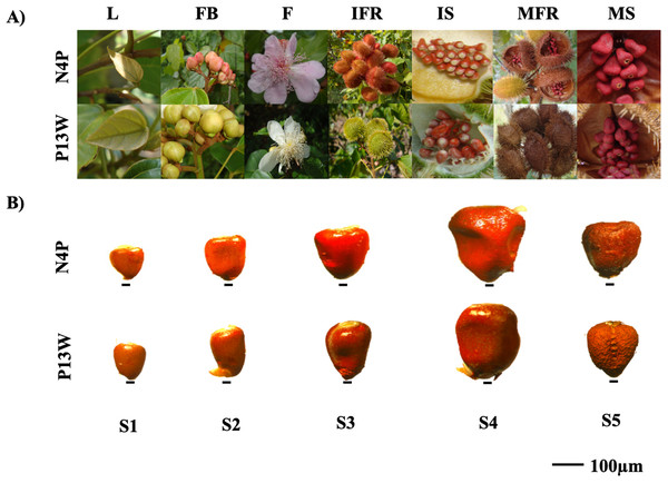 Annatto cultivars with contrasting morphological characteristics.
