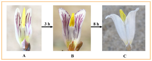 The process of secondary pollen presentation in H. erectum.