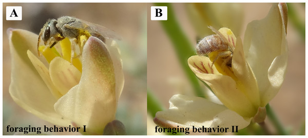 The principle and only effective pollinator of H. erectum: Colletes vestitus (Colletidae) showing the two reported forms of foraging behavior.