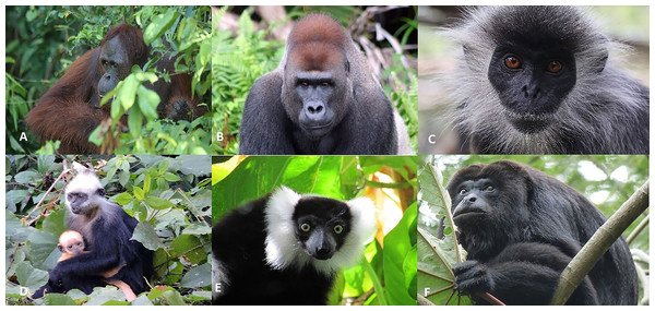 Photos of selected primate species impacted by forest loss and degradation resulting from production of forest-risk commodities.