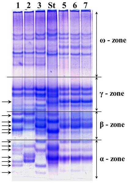 Electrophoregram of the gliadin spectrum of polymorphic cv. Lutescence 65 (Lanes 1–3) in comparison to cv. Bezostaya 1 (Lane 4, used as a Standard) and monomorphic cv. Byrlestik (Lanes 5–7).