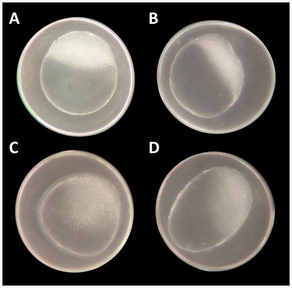 "Danio rerio embryos at 3.3 hpf (""high stage,"" blastula period, according to Kimmel et al. (1995))."