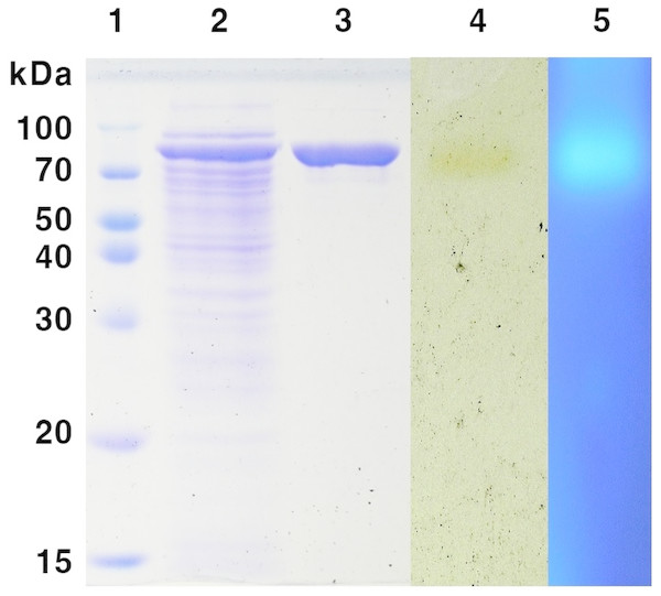 SDS-PAGE analysis of MtBgl85 from M. thermotolerans DAU221.