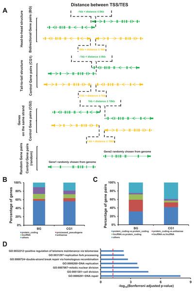 Identification of bidirectional gene pairs in the human genome.